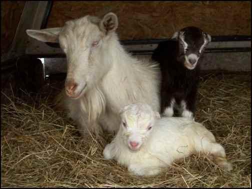 The Economics of Dairy Goats